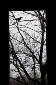 Why is crow calling? -Photo by Jan Ketchel