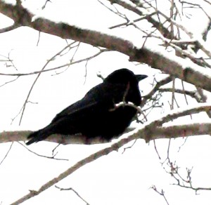 The crows of recapitulation will come calling... Photo by Jan Ketchel