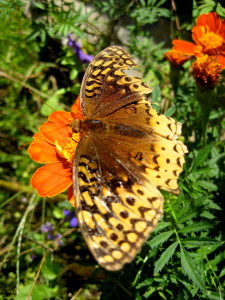 Our resident butterfly reminds us that no matter how battered we get by life we are still beautiful... - Photo by Jan Ketchel