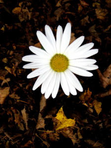Like the last daisy struggling to survive, we too must struggle to change... - Photo by Jan Ketchel
