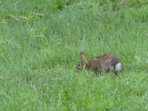 A bunny in the backyard... - Photo by Jan Ketchel