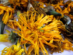 Changing time. Drying calendula and marigolds, at one season's end… But another's beginning… Photo by Jan Ketchel
