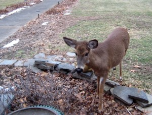 This deer has constantly challenged itself to come closer and closer, coming by several times a day to raid the bird seed! - Photo by Jan Ketchel