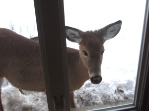 We're all just passing through... What do we offer? - Photo of our resident deer taking a peek inside by Jan Ketchel