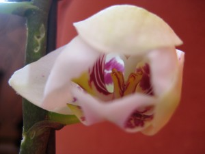 Our little orchid... just beginning to open to new life... - Photo by Jan Ketchel