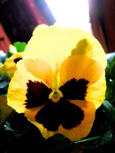 There's a happy smile at the center of this pretty little pansy... And so nature smiles on us all as we take our journeys... - Photo by Jan Ketchel