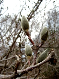 The magnolia buds have survived the winter and are ready now for breakthrough... - Photo by Jan Ketchel