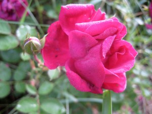 A rose in the morning light offers bounty... - Photo by Jan Ketchel
