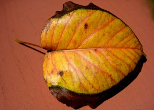 The wind is active...it sends the leaves flying...I am receptive... I receive the leaf! - Photo by Jan Ketchel