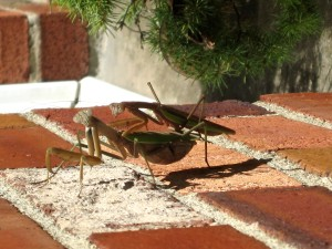Praying Mantises in a sacred moment of carrying out nature's imperative... - Photo by Jan Ketchel