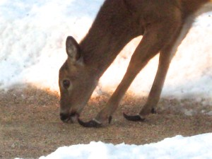 This deer is on her own karmic journey. Her hooves indicate that she is sick... - Photo by Jan Ketchel