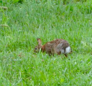 Bunny munching... - Photo by Jan Ketchel